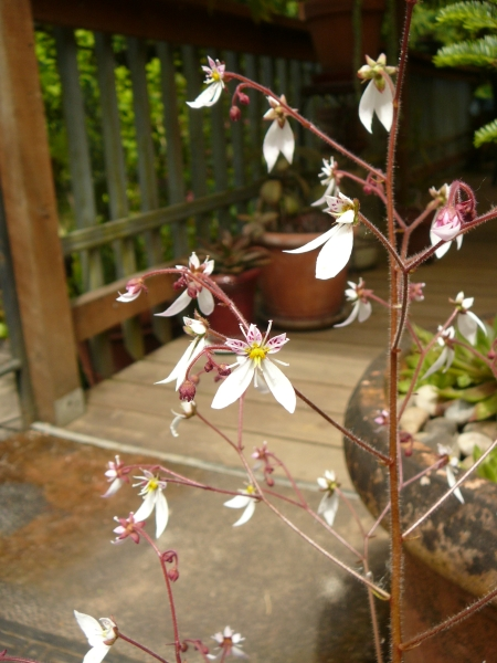 unnamed saxifrage