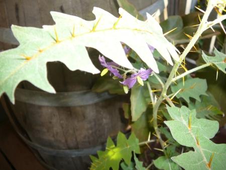 Solanum pyracaniminum