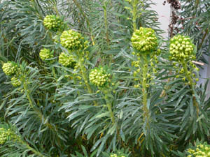 Euphorbia wulfenii in spring