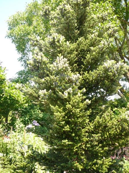 Abies Koreana 'Horstmann's Silberlocke' tree