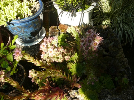 sempervivums blooming