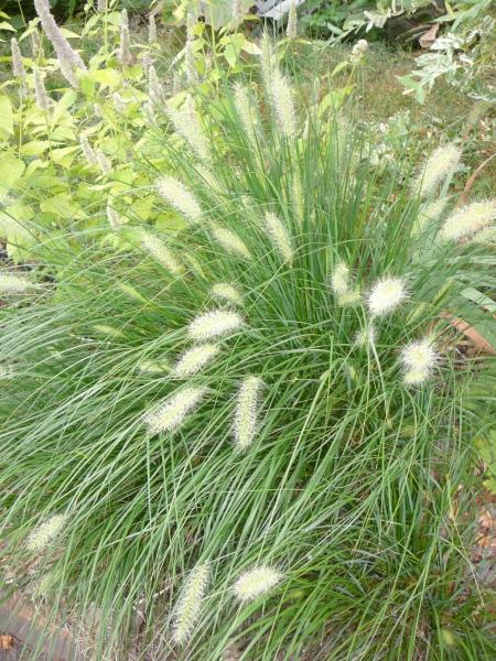 bunny grass