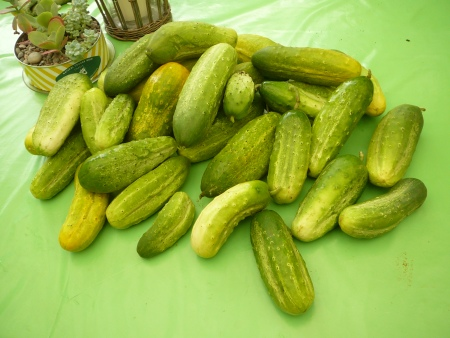 a day's cucumber harvest