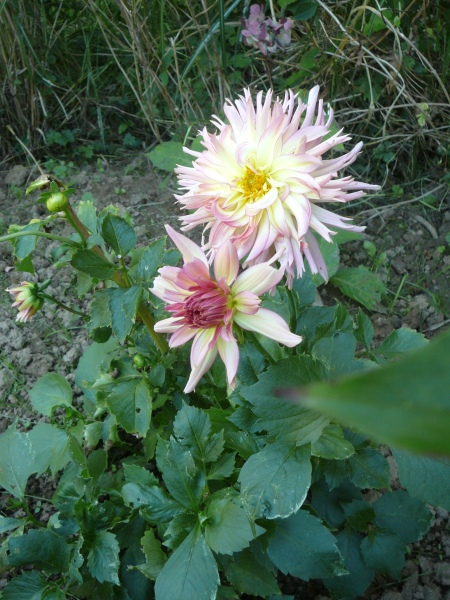 Dahlia 'Cotton Candy'
