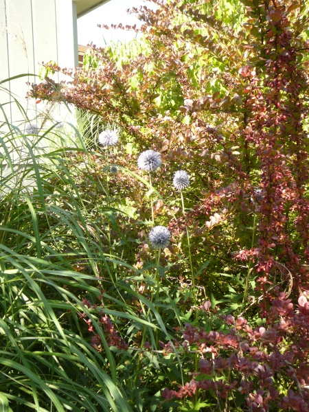 Echinops with barberry