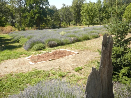 lavender fields forever