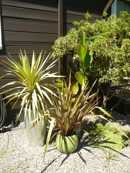 staged pots with Phormium