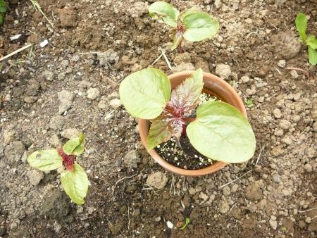 comparison plants