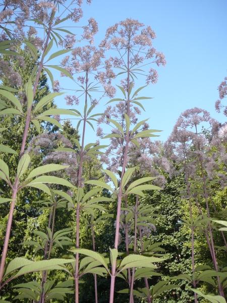 Eutrochium, nee Eupatorium