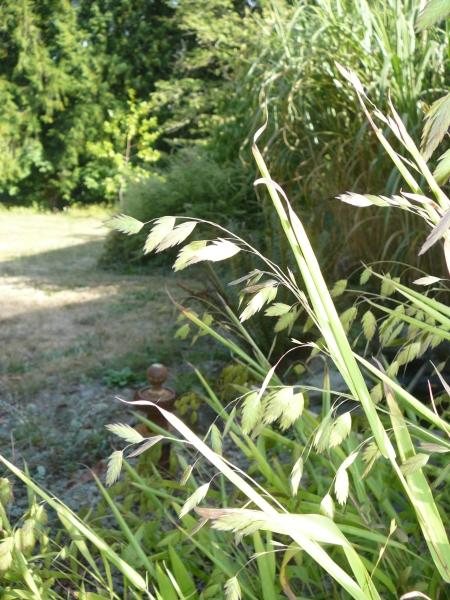 Chasmantium latiforium