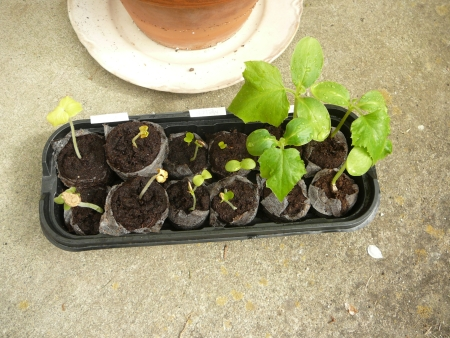seed tray & cukes