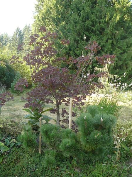 'Thunderhead' pine today