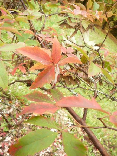 Acer griseum leaf