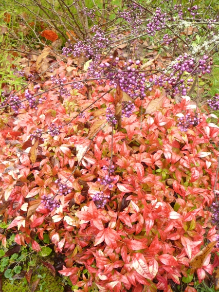 Callicarp 'Profusion' and Nandina