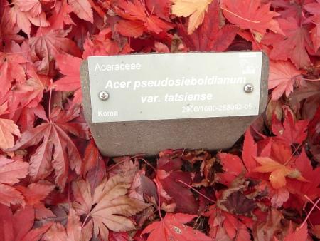 Acer pseudosieboldianum var. tatsiense