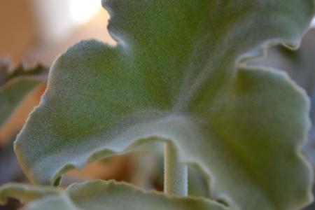 Kalankhloe belhariensis close-up