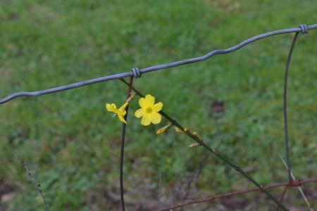 winter jasmine blossom