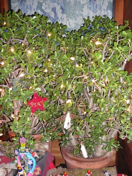 huge jade plant