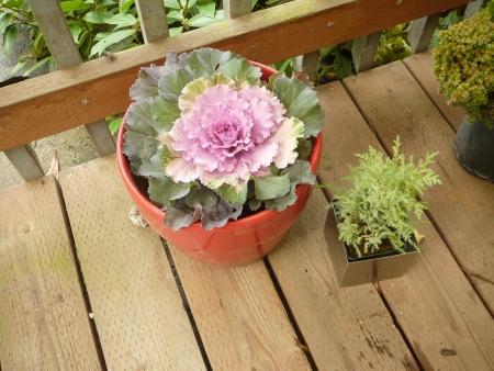 ornamental kale in red pot