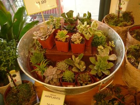 tiny pots of succulents