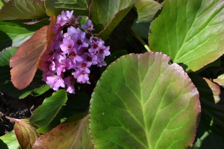 bergenia flower