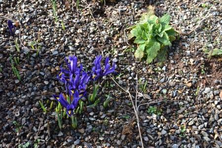 Iris r. 'Pixie'