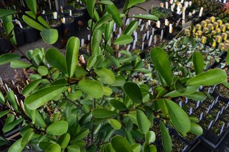 the Magnolia itself