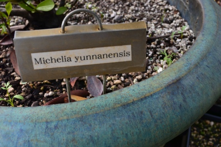 magnolia Michelia yunnanensis