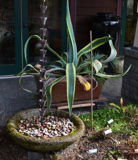 Agave, rain chain and bowl