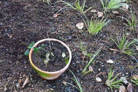 Itea ilicifolia and Acorus gramineus variegatus