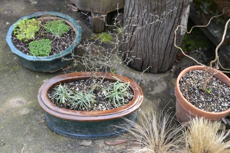 potted up corokia, etc