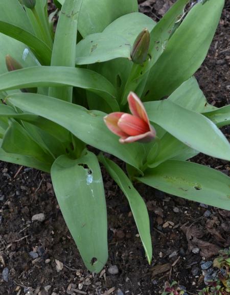 Tulipa kaufmania 'Shakespeare'