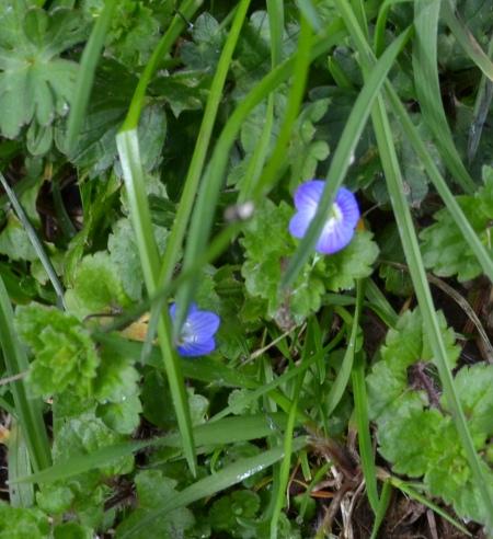 pretty blue weed