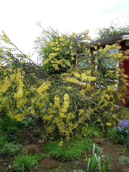 Acacia provissima
