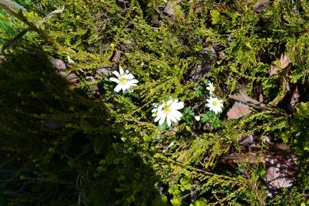 Anemone blanda 'Alba'
