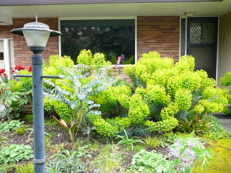 dramatic front entry with Euphorbia wulfenii