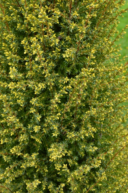 Juniperus communis 'Gold Cone' new tips
