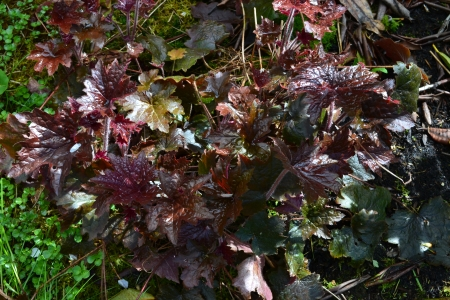 new heuchera foliage