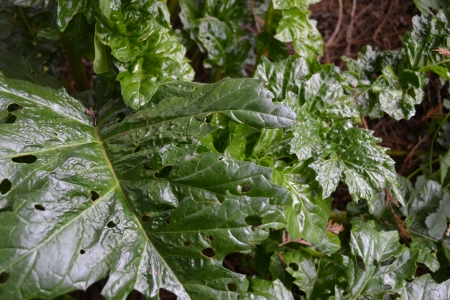 Acanthus mollis new leaves