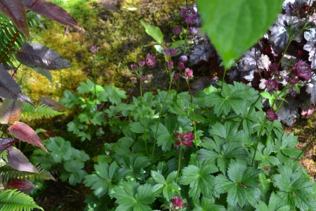 Astrantia gives birth