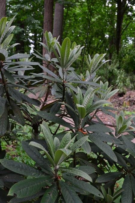 R. uvarifolium