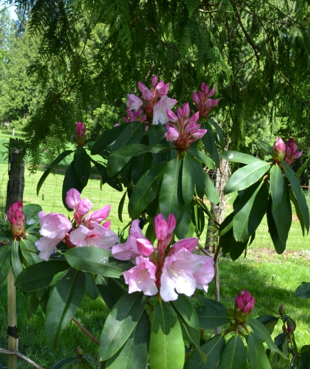 Rhododendron 'Newcomb's Sweetheart'