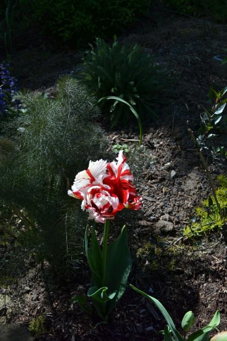 Tulipa 'Rococo'