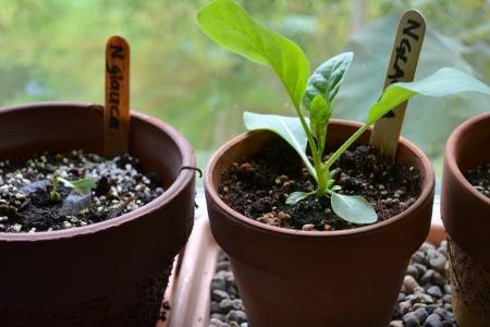 Nicotiana glauca seedlings