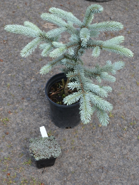 Picea pungens 'Fat Albert' and Raoulia australis
