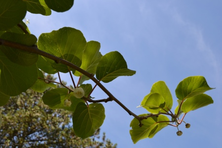Abelia blossoms