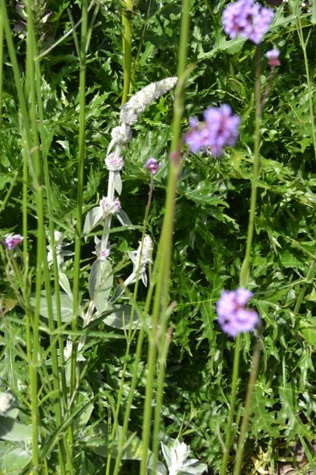 flowering stalks of Helen Von Stein