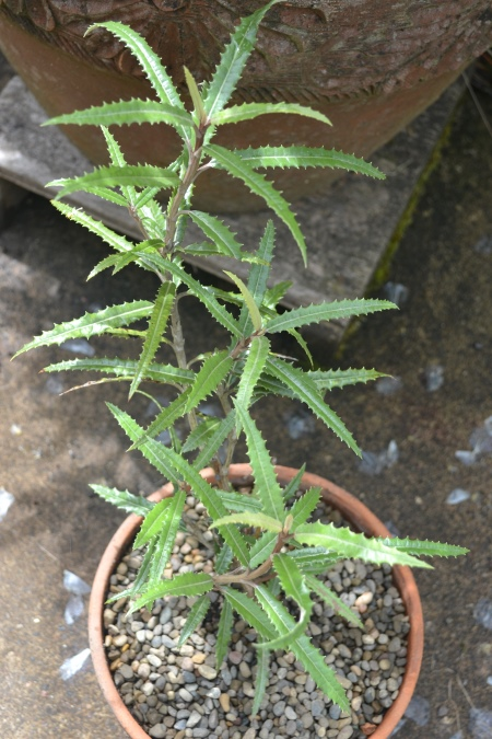 Olearia x mollis 'Aennorensis'