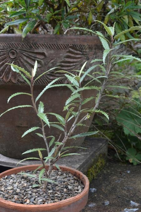 more Olearia