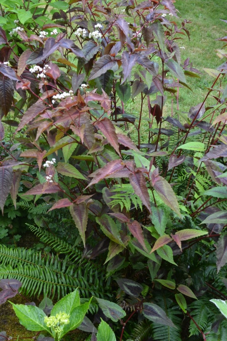 Persicaria 'Purple Shield'